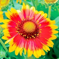 Garden Plants & Bushes  - Gaillardia Plants - Arizona Sun
