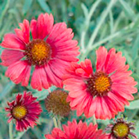 Plant Seeds  - Gaillardia Seeds - Strawberry Firewheels