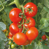 Vegetable Seeds  - Grafted Tomato Plant - F1 Elegance