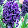 Hyacinth Bulbs - Pacific Ocean