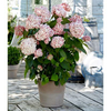 Hydrangea arb. Plant - Candybelle