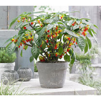 Flower Pots & Stands  - Impatiens Plant - Cockatoo