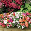 Impatiens Plants - F1 Select Mix