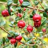 James Wong Chilean Guava Plants + FREE Book