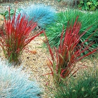 Green plants & flowering plants  - Japanese Blood Grass Plant - Red Baron