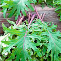 Vegetable Seeds  - Kale Plants - Red Russian