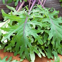 Seeds & Bulbs  - Kale Seeds - Red Russian