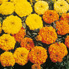 Marigold (African) Sunset Giants Seeds