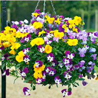 Pansy Plants - F1 Babbling Brook