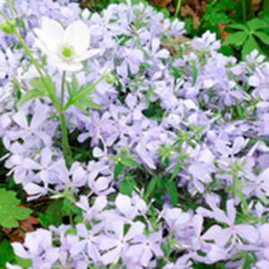 Phlox Plant - Clouds of Perfume