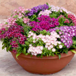 Phlox Plants - Popstars