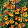 Potted Perennial Plants - Orange Collection