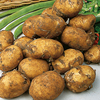 Potted Potato Plants - Maris Peer Yellow