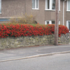 Pyracantha Red Colum Potted Plants - 60cm+ x 10