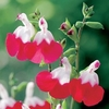 Salvia x jamensis Plant - Hot Lips