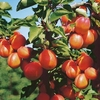 Fruit Trees & Bushes Sibleys Apricot Dwarf Fruit Tree - Flavourcot
