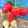 Strawberry Plants - Malling Centenary
