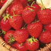 Strawberry Plants - Malling Opal