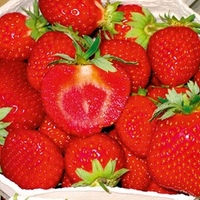 Strawberry Plants - Malwina