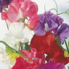 Sweet Pea Plants - Giant Waved Mixed