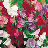 Sweet Pea Plants - Jet Set Mix