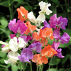 Sweet Pea Plants - Pinata