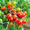 Seeds & Bulbs Tomato Plants - Tumbling Bella