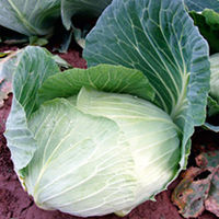 Seeds & Bulbs  - Value Vegetable Seed Collection - 3 Season Cabbage