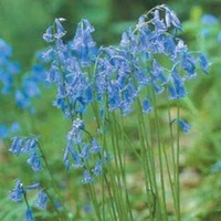 Plant Seeds  - Autumn Bulbs - English Grown Bluebell-7 Bulbs