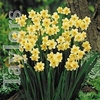 Autumn Bulbs - Narcissus