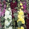 Flower Seeds - Hollyhock Powder Puffs Mixed