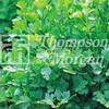 Herb Seeds - Parsley Plain Leaves
