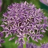 Taylors Allium Violet Beauty 7 Bulbs