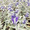 Plants & Plant Care Caryopteris x clandonensis 'Sterling Silver' (Syn. 'Lissilv') (PBR) AGM