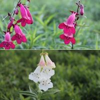 Plants & Plant Care  - Penstemon Collection