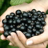 Blackcurrant & Redcurrant Plants - Twin Pack