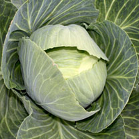 Green plants & flowering plants  - Cabbage (Organic) Seeds - Drago F1