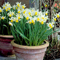 Plants & Plant Care  - Daffodil (Cornish) Bulbs - Jack Snipe