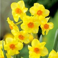 Plants & Plant Care  - Daffodil (Cornish) Bulbs - Martinette