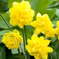 Plants & Plant Care  - Daffodil (Cornish) Bulbs - Pencrebar