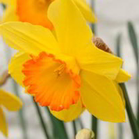 Garden Plants & Bushes  - Daffodil (Cornish) Bulbs - Sacajawea