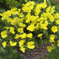 Plants & Plant Care  - Oenothera Plants - Gold Dream