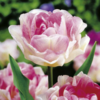 Spring Bulbs - Lucky Dip 300