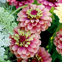 Plants & Plant Care  - Zinnia Seeds - Queen Red Lime