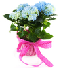 Floral Decoration|Green plants & flowering plants|Gifts|Birthday Hydrangea Plant