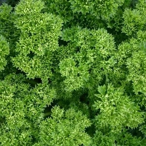 Spices  - Parsley Curly (3 Plants) Organic
