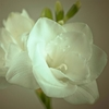 White Freesia Wall Art,  000325