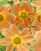 Plants & Plant Care  - Coreopsis Sweet Marmalade