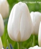 Tulip Triumph Inzell Ivory White