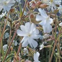 Plants > Wildflowers  - White Campion